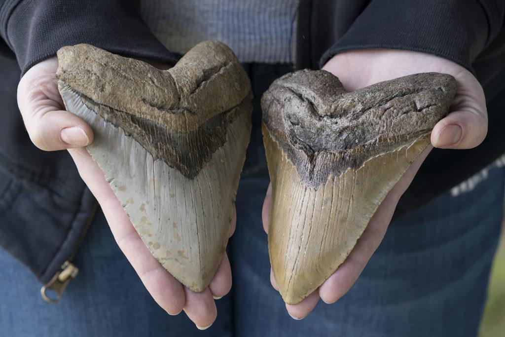 Two Large Prehistoric Megalodon Shark Teeth