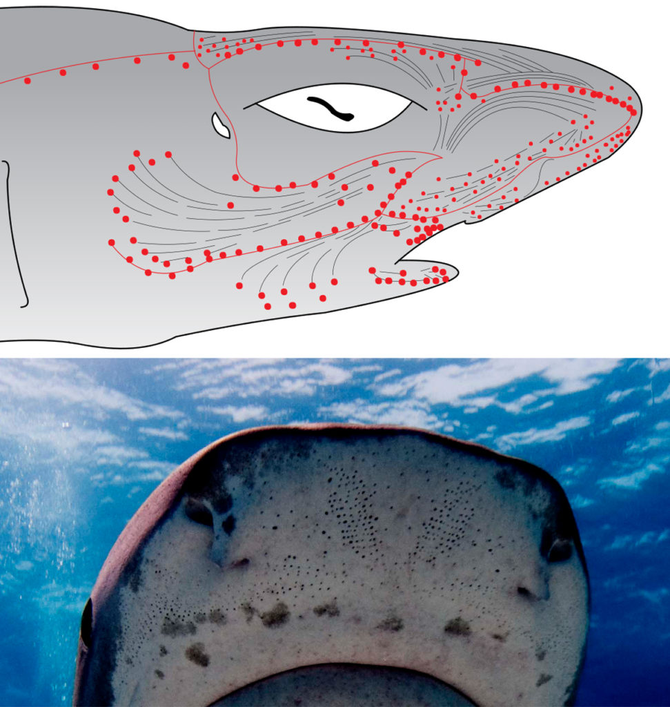 Illustration and photographic example of a shark's ampullae of lorenzini