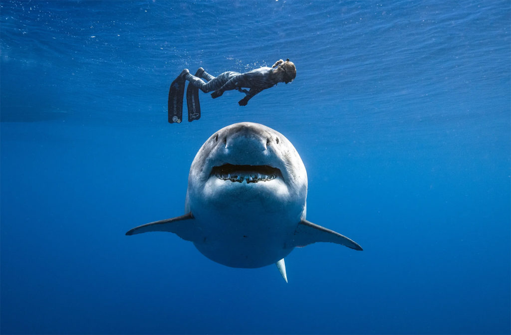 Freediver swimming over a great white shark